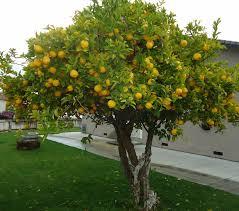 Everyone should plant lemon trees...